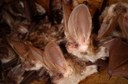 electronic information system on austrian bats